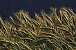 Detail Of Triticale Crop Grown For Silage, West Coast, New Zealand stock image