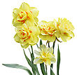 Digital Painting Of Yellow Daffodil Flowers Isolated On White Background stock photo