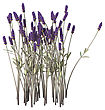 Digital Render Of Lavender Flowers Isolated On White Background