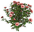 Digital Render Of A Pink Rose Bush Isolated On White Background