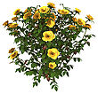 Digital Render Of A Yellow Rose Bush Isolated On White Background