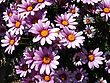 Dimorphotheca cuneata - pink rain daisy stock photo