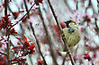 Disheveled Little Sparrow Sitting On A Plum Branch stock photography