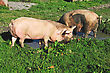 Domestic Pigs Wallowing In A Mud Puddle, Westland, New Zealand stock photography