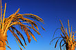 Dry Dead Date Palm At Blue Sky Background