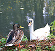 Duck And A Swan In A Pond stock photography