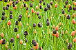 Colored Dutch Colorful Tulips In Keukenhof Park In Holland stock photography