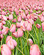 Flowerbed Dutch Pink Tulips In Keukenhof Park In Holland stock photo