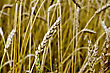 Ear Of Wheat On A Background Of A Wheat Field stock photo
