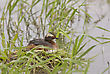 Eared Grebe In Saskatchewan Canada Pond With Eggs stock image