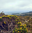 Great Britain Early Morning At Wicklow Mountains . Blossoming Bush. Spring Season. stock photo
