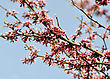 Eastern Red Bud Tree In A Spring stock photo
