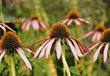Echinacea Flowers stock photo