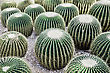 Echinocactus Grusonii, Popularly Known As The Golden Barrel Cactus stock photo