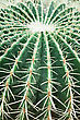 Echinocactus Grusonii, Popularly Known As The Golden Barrel Cactus stock photography