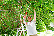 Elderly Man Cuts A Tree Branch. Mulberry Tree. A Man Stands On A Stepladder stock photo