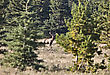 Elk In Cypress Hills Alberta Wild Antlers Fall Autumn stock photo