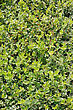 Euonymus Emerald Gaiety, Groundcover Plant In The Garden stock image