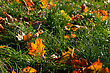 Fallen Colorful Leaves On The Bright Green Grass stock photo