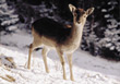Fawn in the Winter stock photography