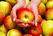 Female Hands Holding Apple On Heap Of Apples Background