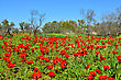 Field Of Beautiful Red Flowers. Dry Trees, Blue Sky And Green Grass stock photo