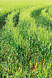 Field Of Green Rye And Tractor Trace. Close-up stock photo
