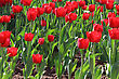 Field With Group Of Red Tulips And Green Leafs On Sunlight