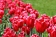 Field With Group Of Red Tulips And Green Leafs On Sunlight stock photography