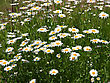 Field Of Daisy Flowers stock photography