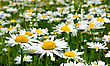Field Of Daisy Flowers, Chamomile Flowers stock photo
