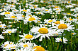 Field Of Daisy Flowers, Chamomile Flowers stock image