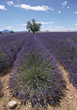 Field Of Lavender stock photography