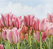 Flowers Field Of Pink Tulips Flowers stock photography
