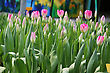 field of pink tulips stock photography