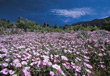 Field of Purple Wildflowers stock photo