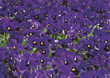 Field Of Violet Pansies stock photo