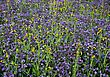 Field Of Violets, California, USA stock image