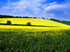 Field Of Yellow Crops