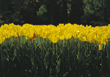 Field of Yellow Tulips stock photo