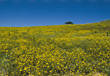 Field of Yellow Wildflowers stock photo