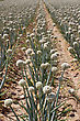Field Of Onions In Perspective For Organic Farming