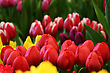 field of red tulips, other colors in the background stock photography