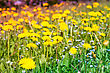 Grass Field Of Spring Flowers At Sunny Day stock photo