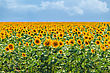 Field Of Sunflowers On A Background Of Blue Sky stock image