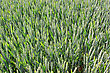 Field Of Wheat For A Natural And Organic Grain Farming stock photo
