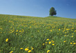 Field With Dandelions stock image