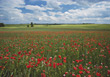 Field With Red Poppy Flowers stock photo