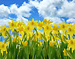 Field Of Yellow Daffodil Flowers Against A Blue Sky stock image