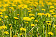 Field Of Yellow Dandelions Flowers. Shallow DOF stock photo